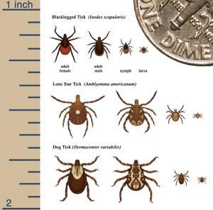 Information and graphics showing the types and stages of a tick.
