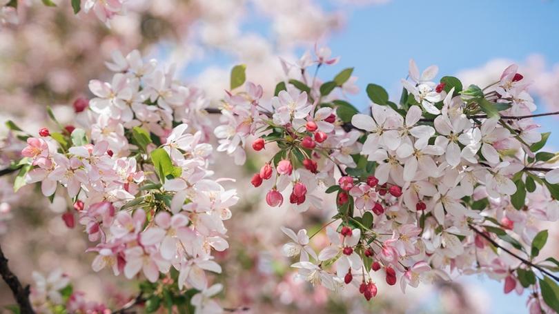 pink tree blosson