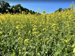 yellow wildflowers in green field with blue sky